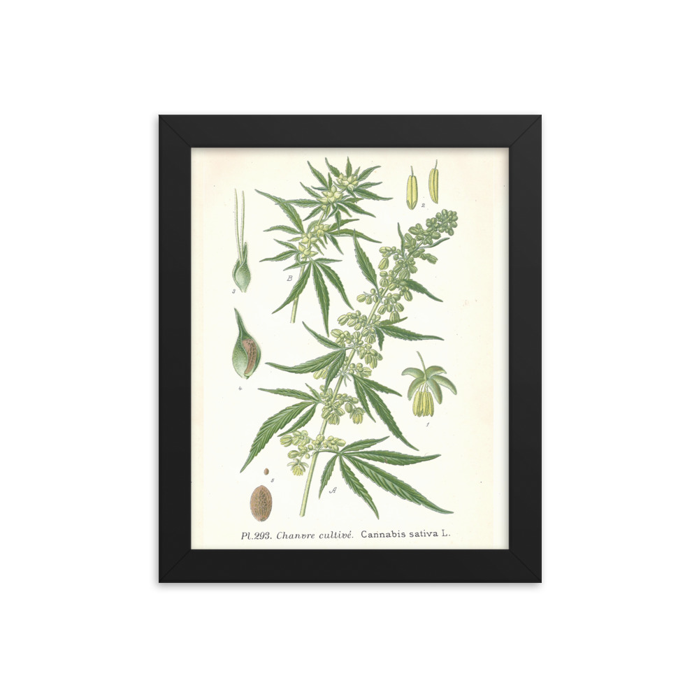 Cannabis French Chanvre plant seed 1890's